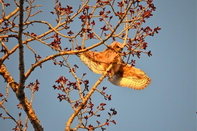 Owlet spreads wings