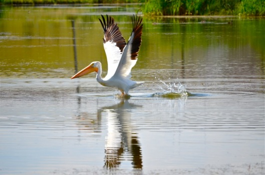 Pelican Takes Flight