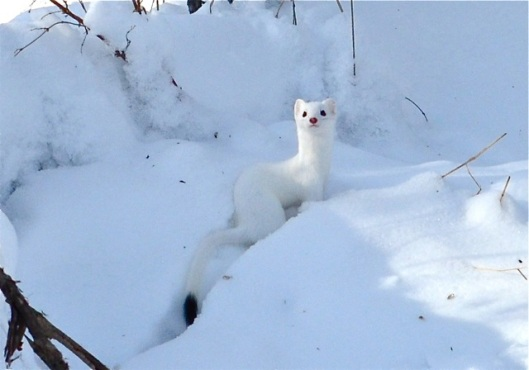 White weasel
