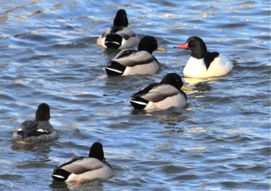 Male Merganser stands out