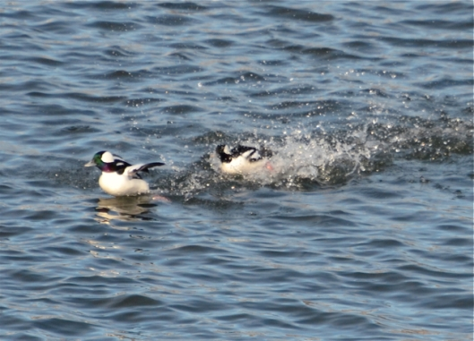 Playful Buffleheads