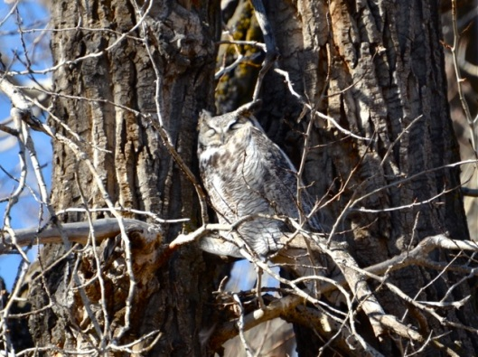 Papa Great Horned Owl