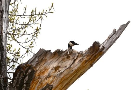 Canada Goose nesting