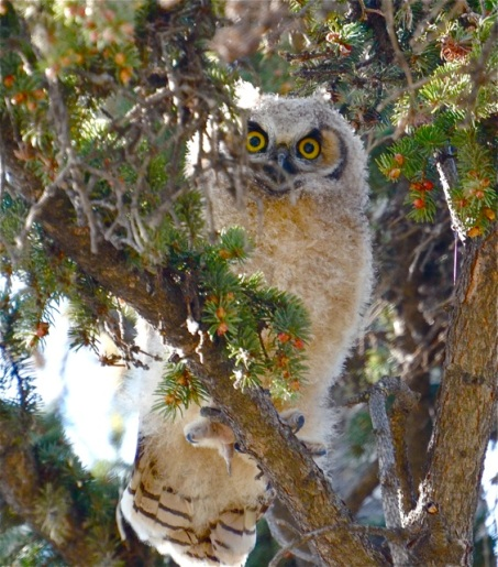 Owlet growing up