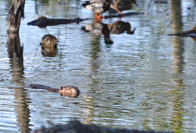 Beaver in the pond