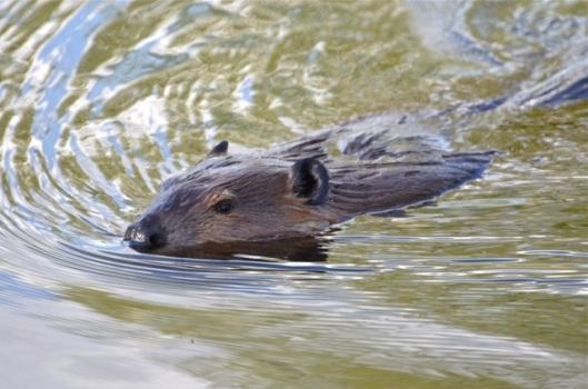 The Beaver Close-up