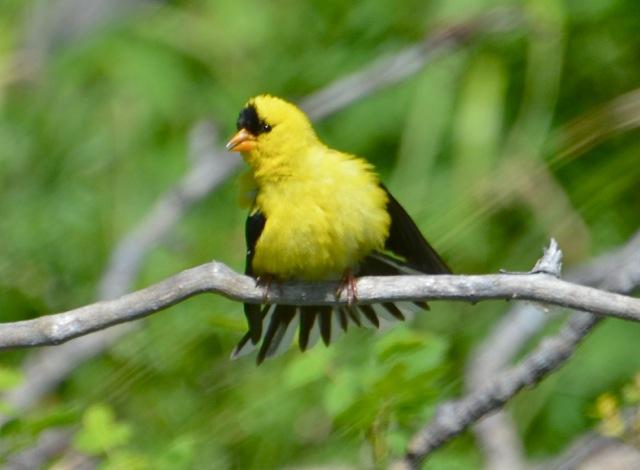 Am Goldfinch 2