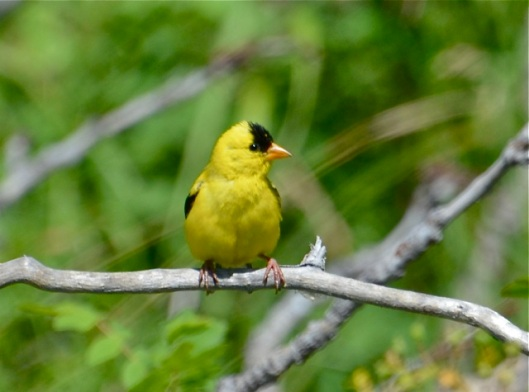 American Goldfinch 2