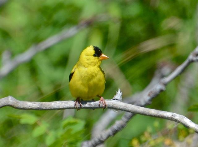American Goldfinch 2