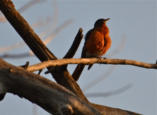 Robin red breast indeed in the eveing light