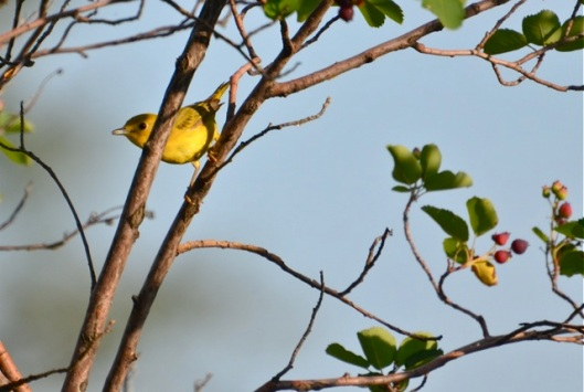 The Yellow Warbler