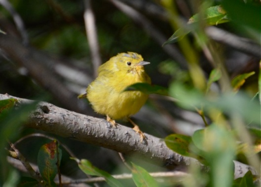 Young Warbler