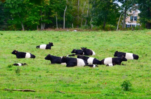 2. White-belted cows