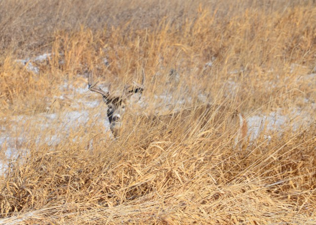 Buck behind grass