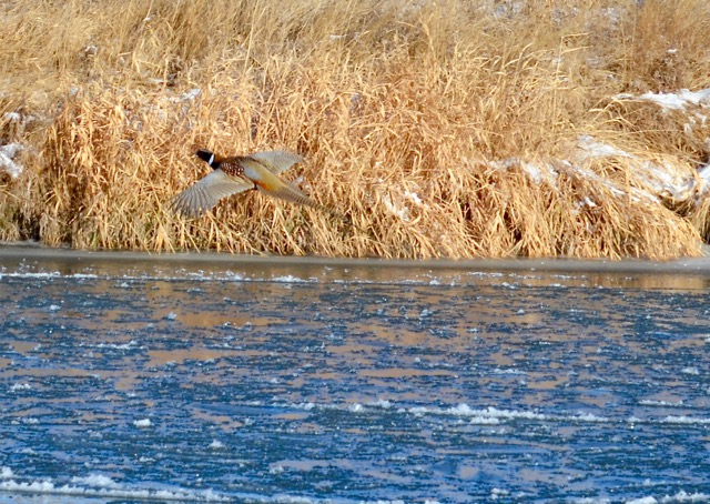 Pheasant 3