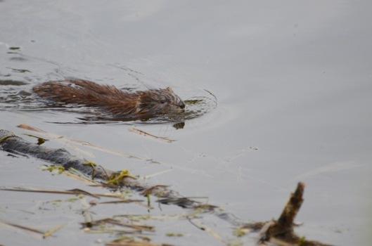Beaver babe 1