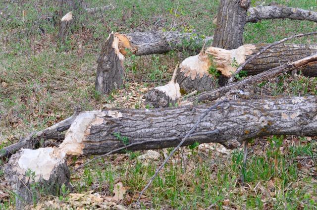 Beaver's work