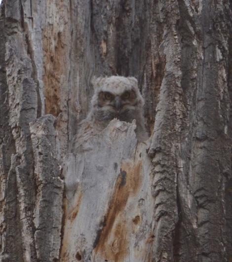 Owlet 1
