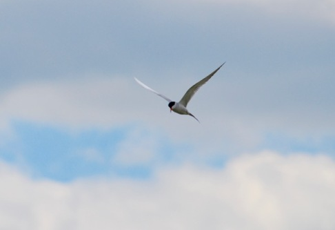 A flying common tern.jpg