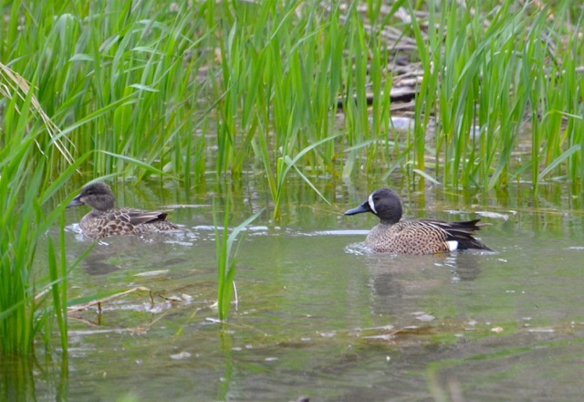 Blue-winged Teal, Male and Female