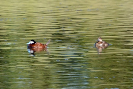 Male & Female Ruddy Ducks