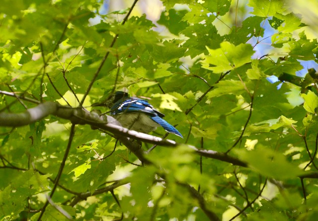bluejay-in-maple-leaves