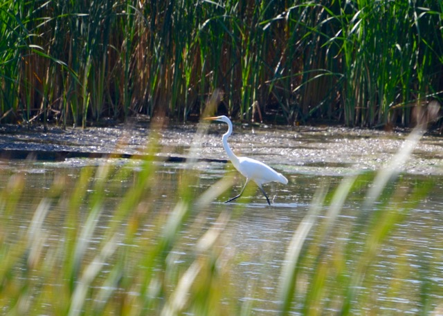 egret-on-the-move