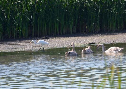 egret-swans