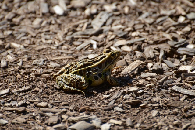 Frog on my path.jpg