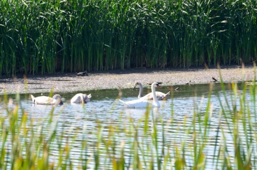 mute-swan-juveniles