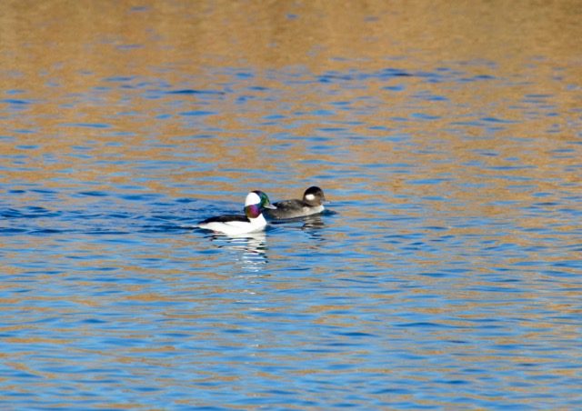 bufflehead-couple