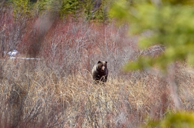 She Bear 1