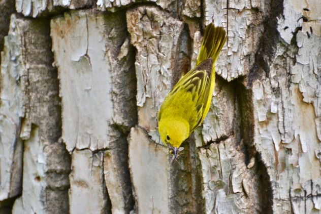 Warbler on tree