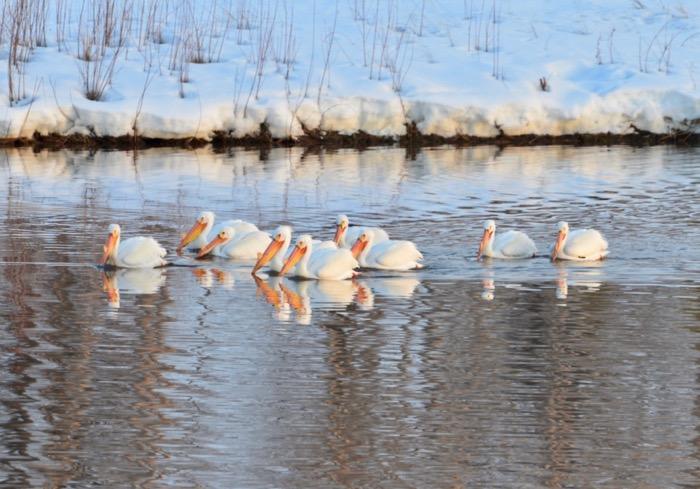 American White Pelicans.jpg