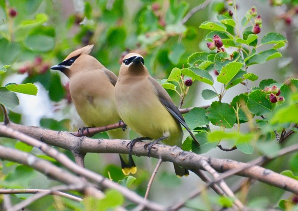 Sibling Waxwings