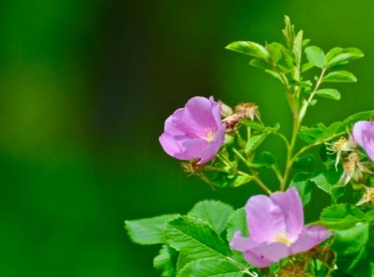Alberta Wild Rose.jpg