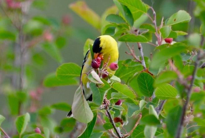 American Goldfinch messy eater.jpg