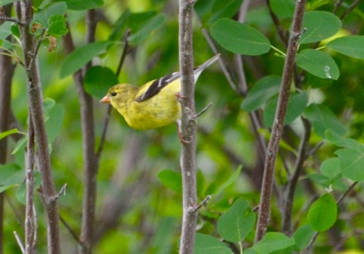 blurry Goldfinch.jpg