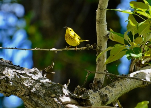 Hungry Yellow Warbler.jpg