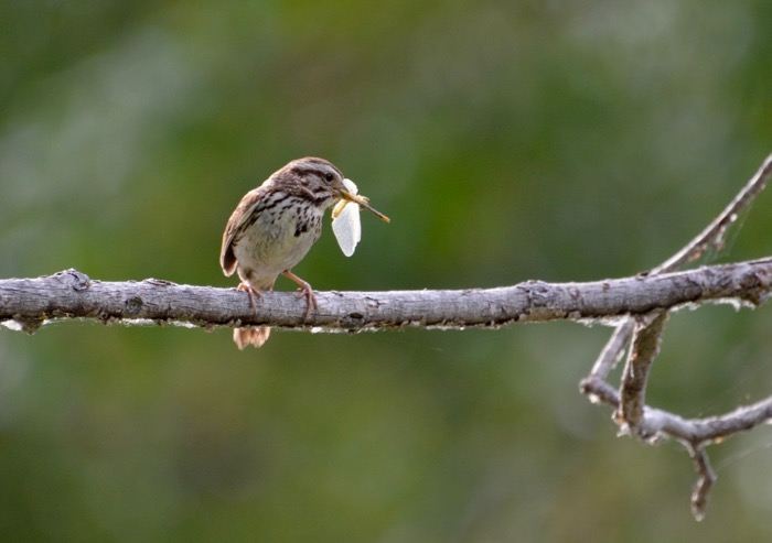 Song Sparrow lunch.jpg