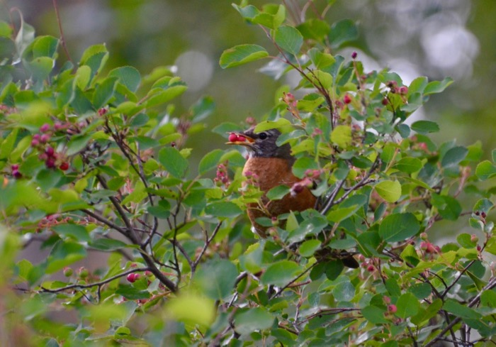 The Hungry Robin.jpg