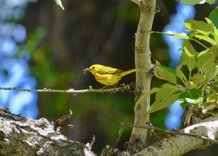 The Hungry Warbler.jpg