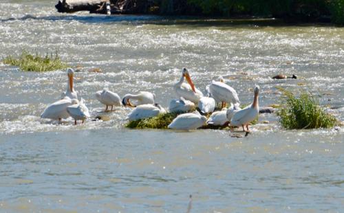 500 Pelicans