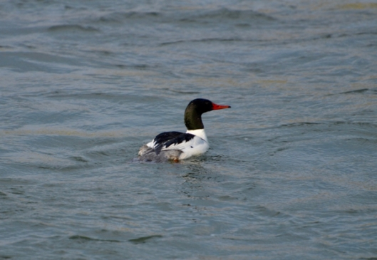 Mr. Merganser