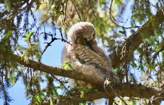 Owlet waking up