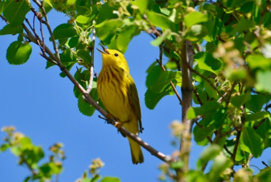 Singing Yellow Warbler.jpg