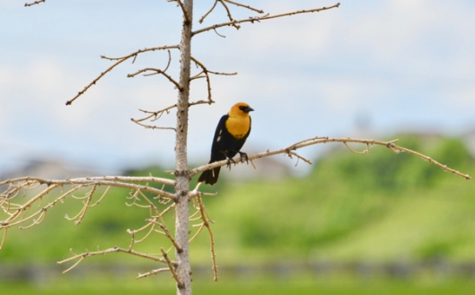 Yellow-headed Blackbird.jpg