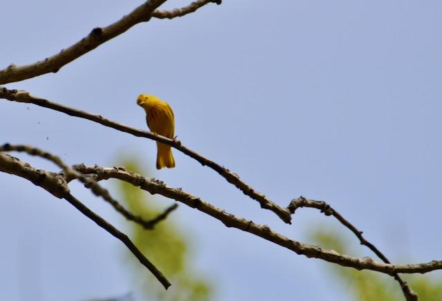 Curious Yellow Warbler