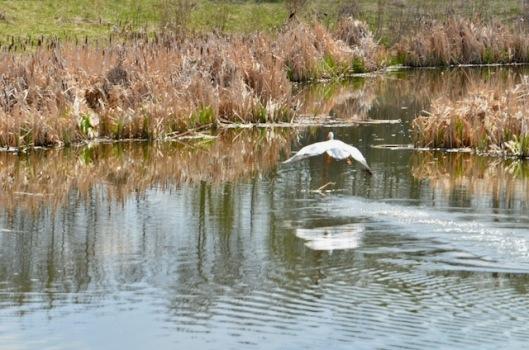 Pelican Flying Away