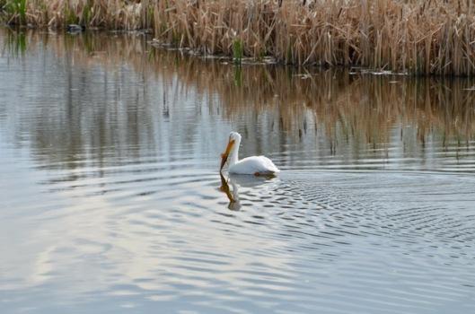 Pelican in serenity